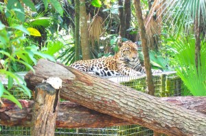 He was born at the zoo by surprise and his mom, a 'problem jaguar' rejected him so here he is!