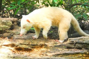 Sure this coatimundi is an albino but he is doing fine at the zoo. I watched him snuffle around.